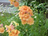 キンギョソウ 1年草 冬も枯れないで初夏の花壇に今年も咲いている。