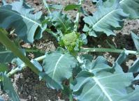 ブロッコリー 低温にも強い 春早くも青虫に食べられる・・・