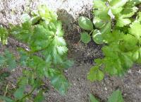 セロリー 5本 小さな苗は、グングン大きくなる。