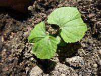 昨年の実から種つくり・・・やっと芽が出たゴーヤ