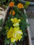 マリンゴールド この夏も咲きます。香りが強く害虫除けにもなるという。
