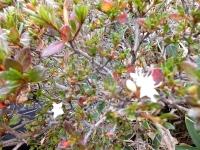 コメツツジ小さい紅葉の中 遅れ咲きの白い花を見る事が出来ました。