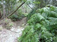 瀬戸内の山 此処にもウラジロが茂っている。
