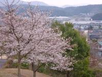 麓の登山口近く未だ咲いていた桜 ヨカッタ