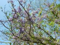R217 長谷峠 付近からの登山道直ぐの藤の花