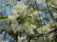 白いこの花木??とてもきれい▲この地でアカシヤに出合ったのに、無かった??