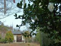 山頂の竜王神社 山茶花が咲く