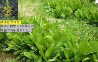 『オタカラコウ』青々葉っぱ 花は前回2009年の写真 添付
