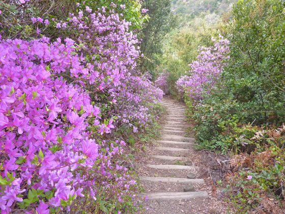 登山道 ツツジ満開の傾斜地は全て擬木の階段