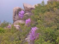 瀬戸内海の上に張り出したような奇岩と赤紫のツツジ
