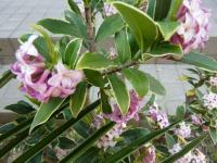 沈丁花は優しくいい香りで春一番を告げる大好きなお花