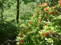 森林公園から1ヶ月半 大山でも満開のレンゲツツジ