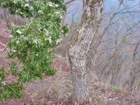 山頂 稜線に咲く馬酔木(アセビ)
