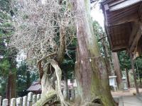 千磐神社境内 杉の神木 と藤の巨大かずら!!