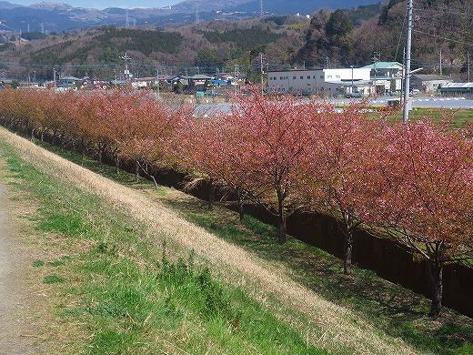 SAKURAsakura 057