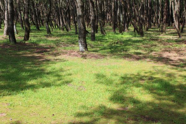 松林のかげ
