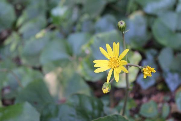 sy つわぶき 花