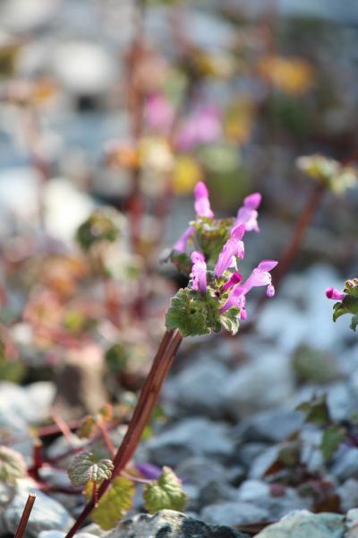 n-i 植物