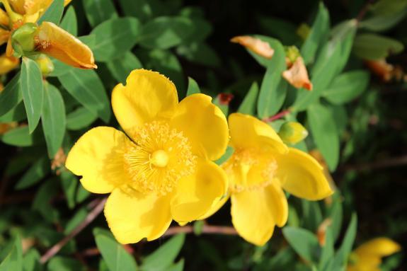 R-P 黄色い花