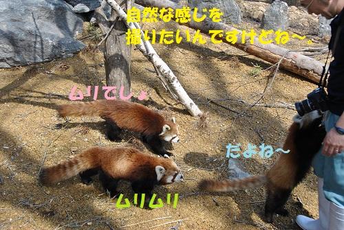 レッサーパンダ 4