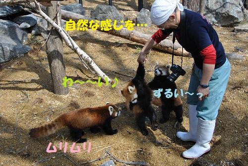 レッサーパンダ 5