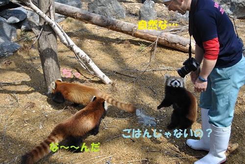 レッサーパンダ 6