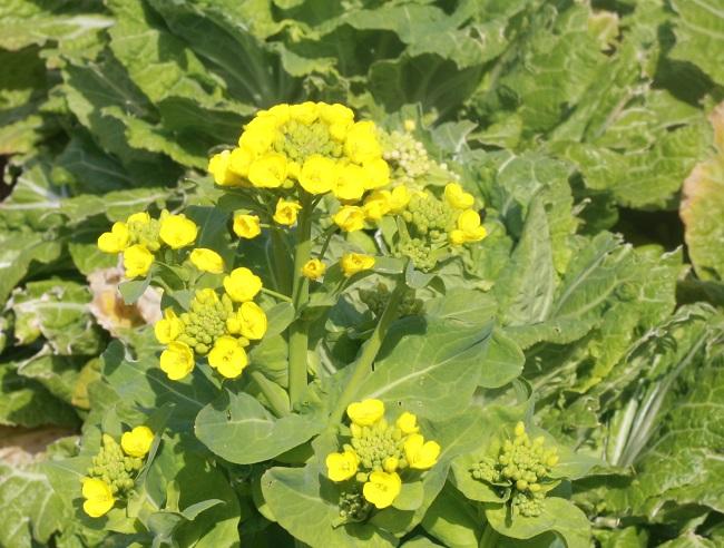 白菜の花が咲いたら春だー
