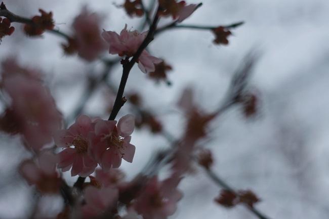咲いて散ります