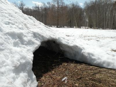 積雪ゼロ、福寿草も顔出す