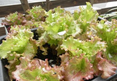 2012.04.29 サラダ菜
