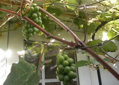 2012.08.09 今年の葡萄
