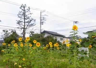 2012.08.09  ひまわり