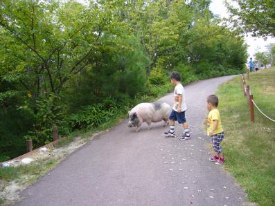 豚のお散歩