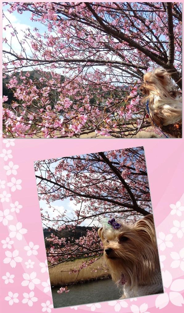 13河津桜とリーパコ
