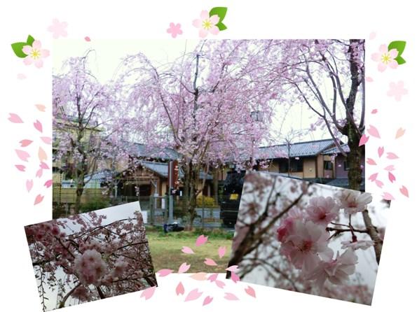 6ドッグランの桜も満開