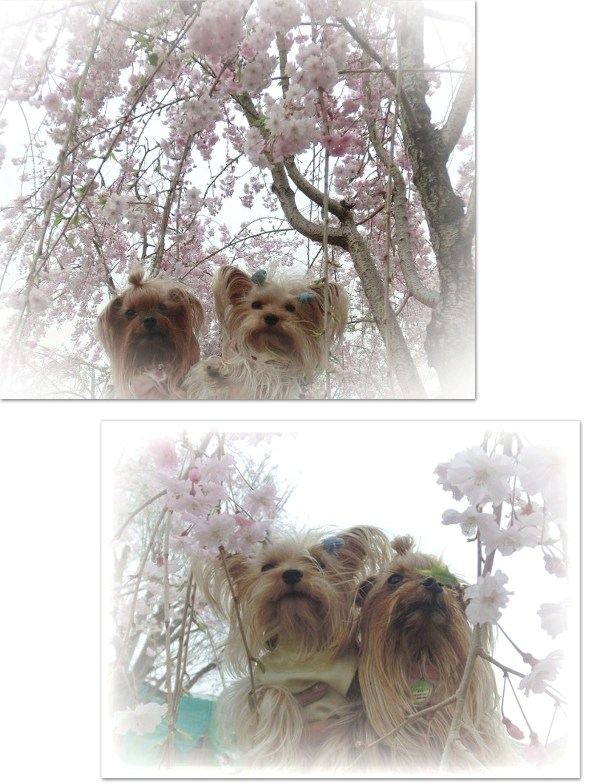 9桜とリーパコ