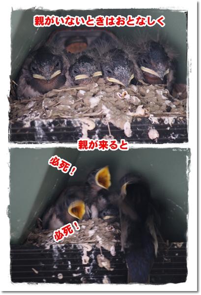 2012・6・23-2・5羽確認