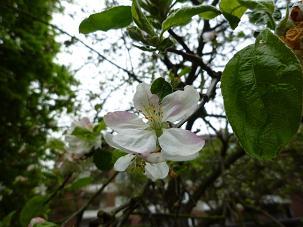 林檎の花2012.4.27