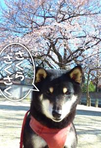 130321_saku.jpg