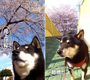 130329_sakura.jpg