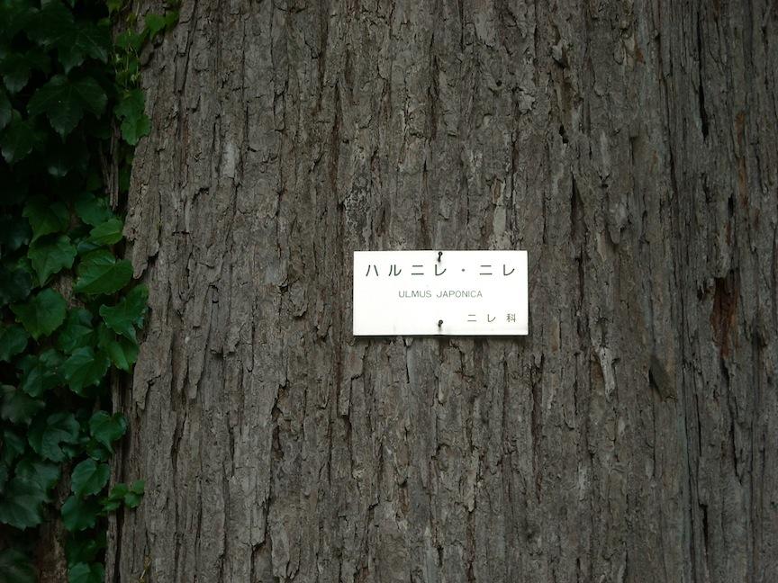 ハルニレ1