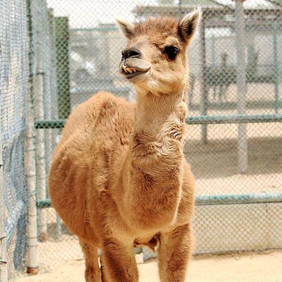 Camel + Llama= Cama_R