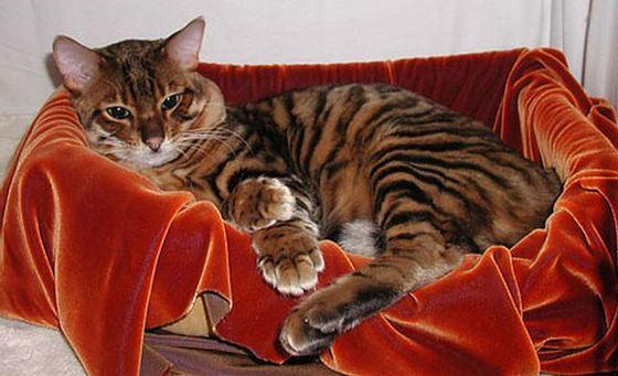 Bengal Cat + Tabby Cat = Toyger_R
