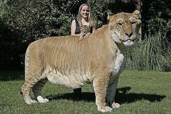Lion + Tiger= Liger_R