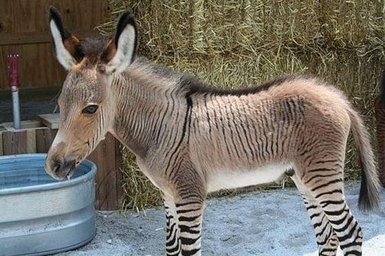 Donkey + Zebra = Donkra_R