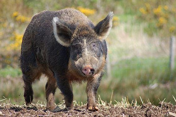 Domestic Tamworth Pig + Wild Boar = Iron Age Pig_R