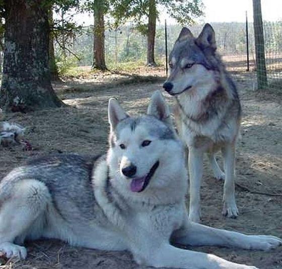 Dog + Wolf = Wolf Dog_R