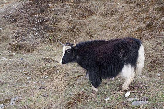 Yak + Domestic Cow = Dzo_R