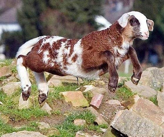 Sheep + Goat = Toast of Botswana_R