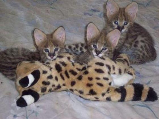 Serval + Domestic Cat = Savannah_R